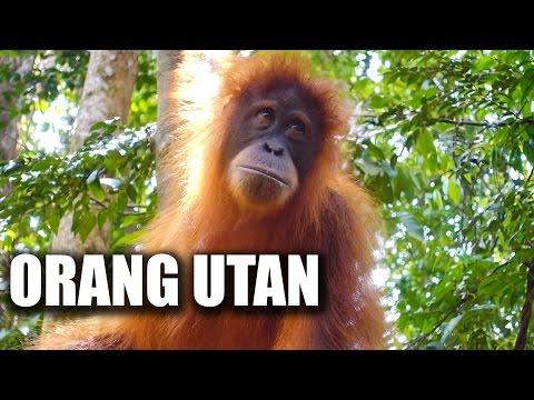 Wilde Orang Utans hautnah - Dschungel Trekking in Bukit Lawang Sumatra | VLOG #120
