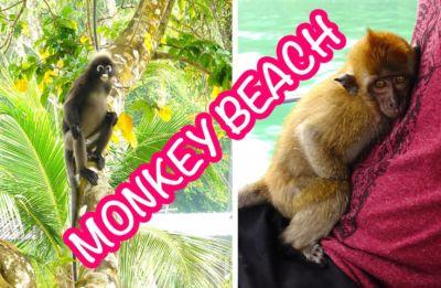 Wilde Affen beim Monkey Beach, Penang, Taman Negara
