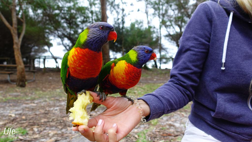 Papagaien im Booderee Nationalpark