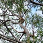Wilde Koalas auf der Great Ocean Road