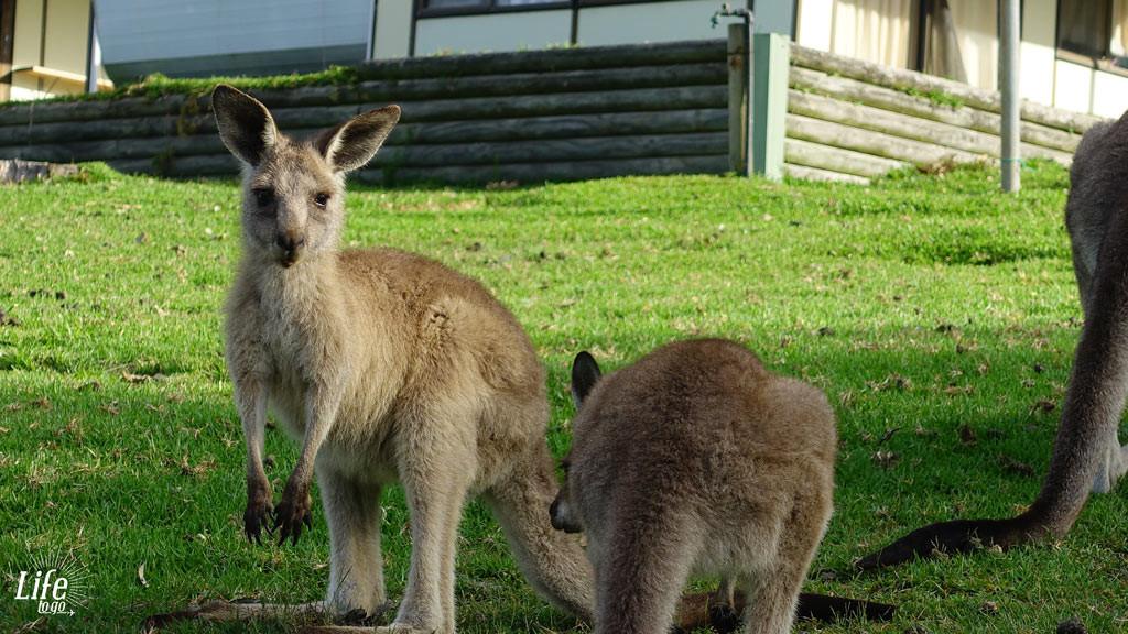 Kängurus am Merry Beach Campingplatz - Unsere Highlights von Sydney nach Melbourne