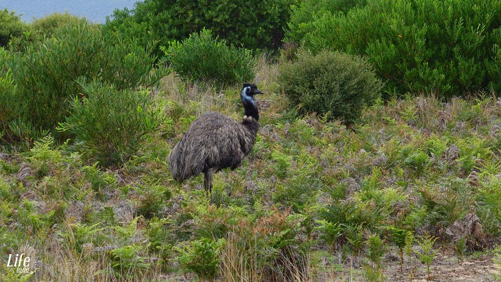Emu im Wilson Promontory Nationalpark