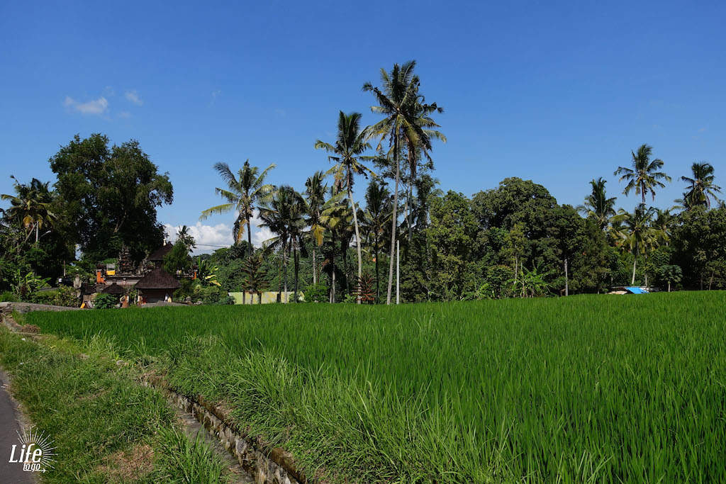 Reisfeld auf Bali und günstiger Urlaub auf Bali
