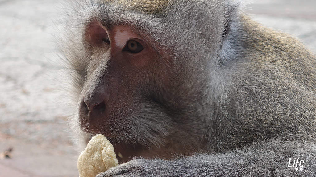 Ein wilder Affe auf Bali - Blogbeitrag über Bali, Reisterassen und Wasserfälle