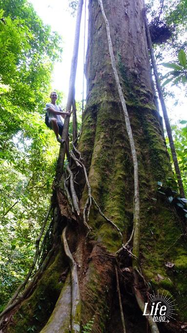 Dicker Baum Bukit Lawang Orang Utan Tour im Dschungel Sumatras