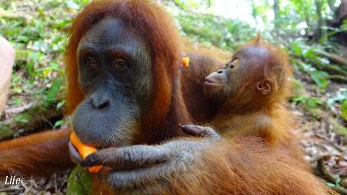 Jackie und Baby auf der Orang Utan Tour im Dschungel von Bukit Lawang auf Sumatra
