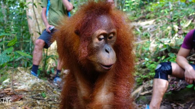 Jackies Baby in Bukit Lawang auf Orang Utan Dschungel Tour