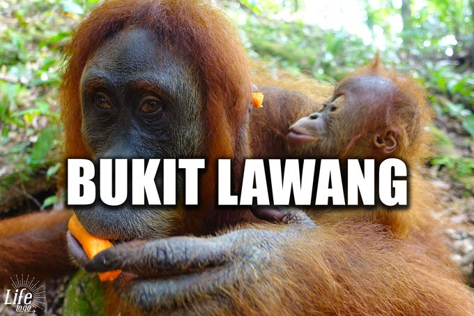Orang Utan Tour im Dschungel von Bukit Lawang auf Sumatra