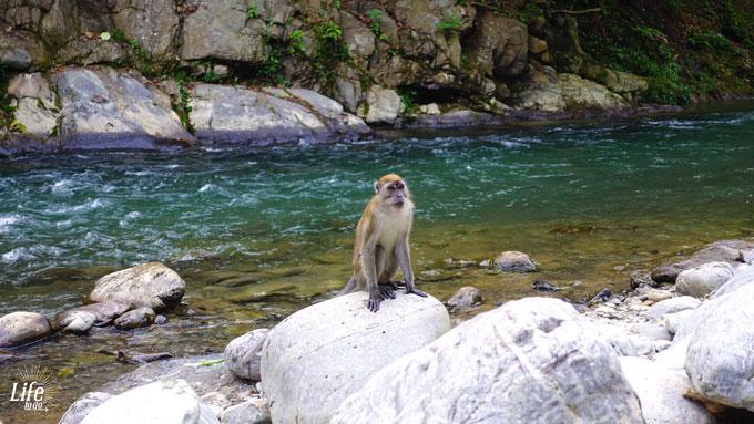 Weckruf der wilden Affen am Morgen in Bukit Lawang auf der Thomas Jungle Tour