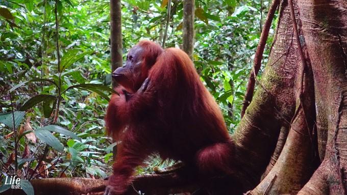nachdenklicher Orang Utan in Bukit Lawang auf Thomas Jungle Tour
