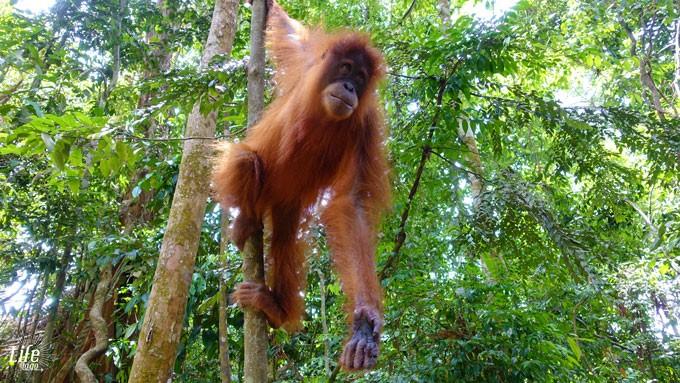 wilder Orang Utan Bukit Lawang Sumatra