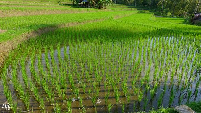Grüne Reisterrassen im Norden von Bali