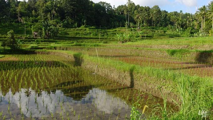 Reisterrassen im Norden von Bali