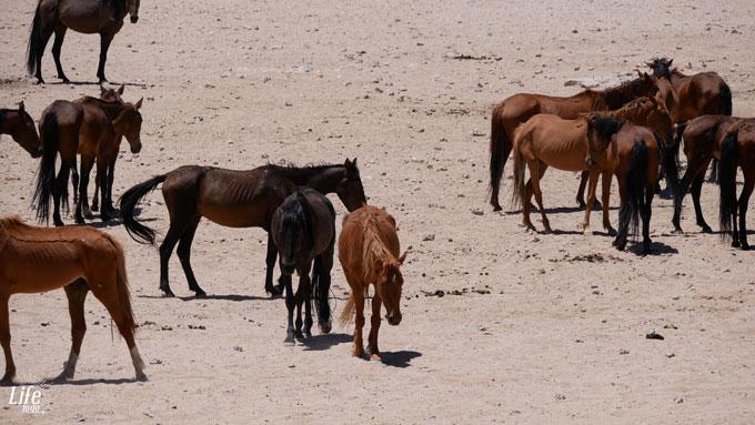 Wildpferde in Aus Namibia