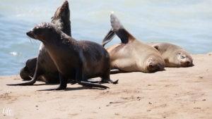 Cape Cross Namibia Robben