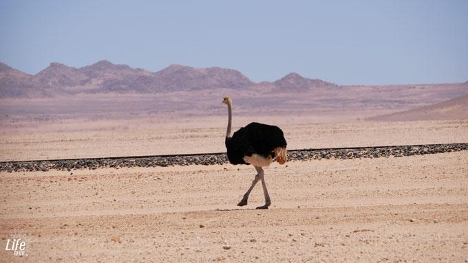 Einsamer Strauß in Namibia