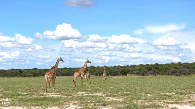 Etosha Nationalpark Giraffenherde