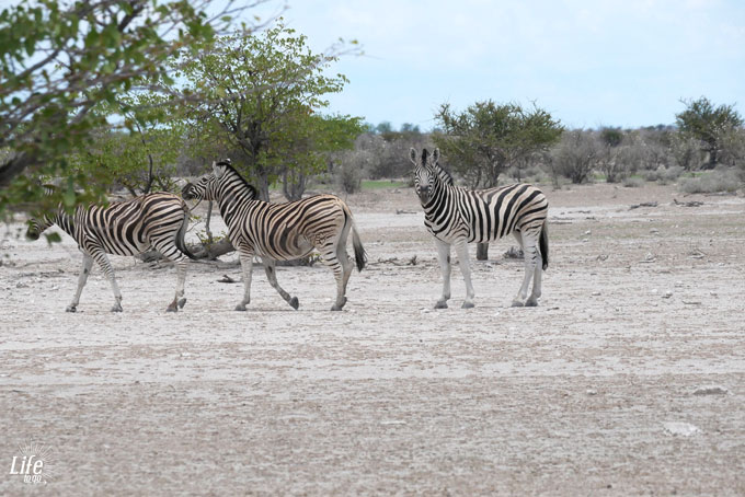 Etosha Nationalpark wilde Zebras