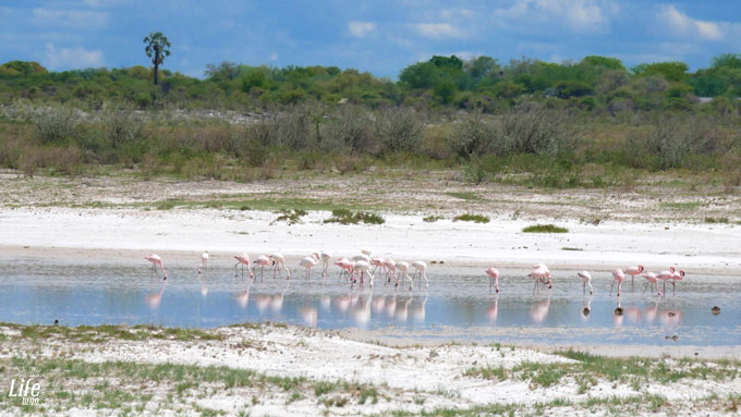 Flamingos Etosha Nationalpark