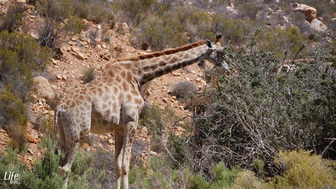 Aquila Game Reserve Giraffe