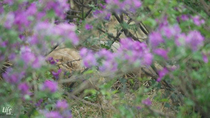Löwe im Etosha Nationalpark