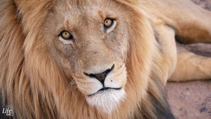Löwe im Aquila Game Reserve
