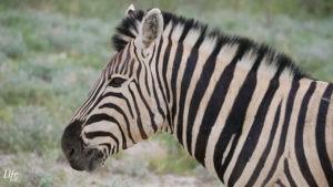 Nahaufnahme Zebra Etosha Nationalpark Namibiaark