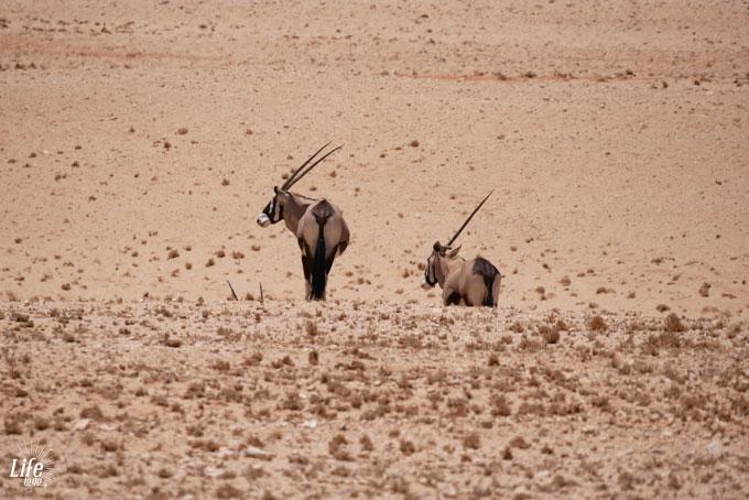 Oryx und das letzte Einhorn in Namibia