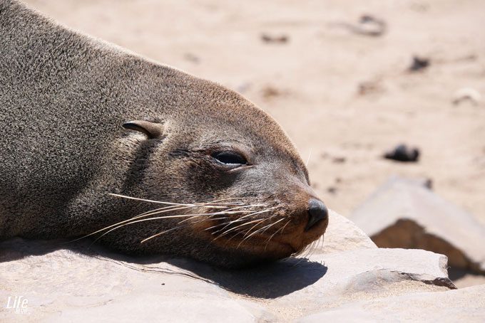 Robbe macht Pause Cape Cross Seal-Reserve