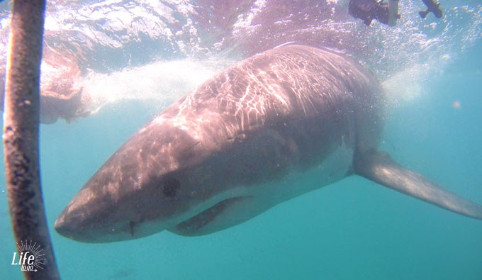 Shark Cage Diving Kleinbaai