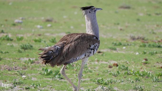 Vogelart im Etosha Nationalpark Namibia