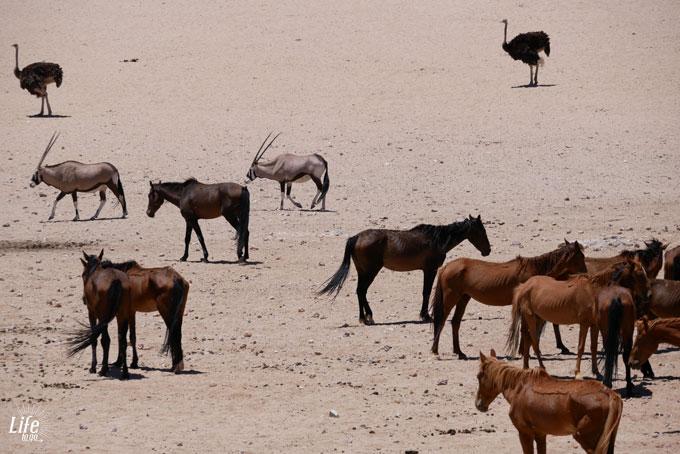Wildpferde Strauße Oryxe in Namibia