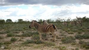 Zebra Herde im Etosha Nationalpark Namibia