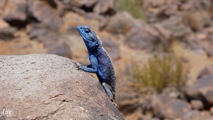 Namibianische bunte Echse
