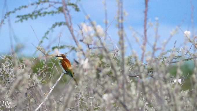 bunter Vogel Etosha Nationalpark