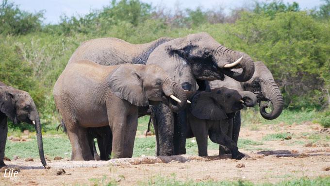 durstige Elefanten Etosha Nationalpark