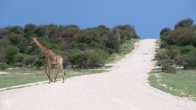 einsame Giraffe Etosha Nationalpark