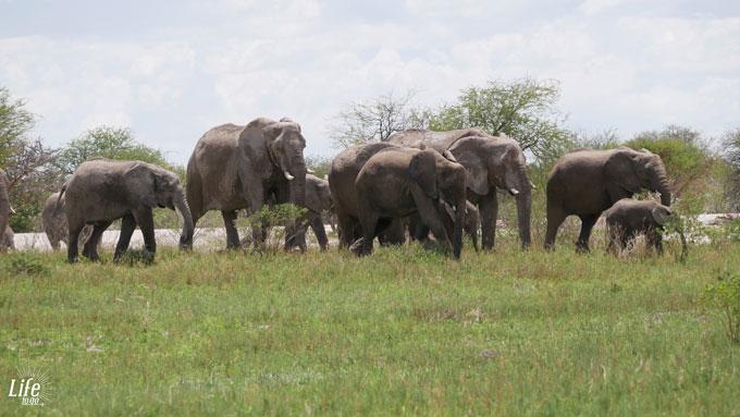 große Elefantenherde im Etosha Nationalpark