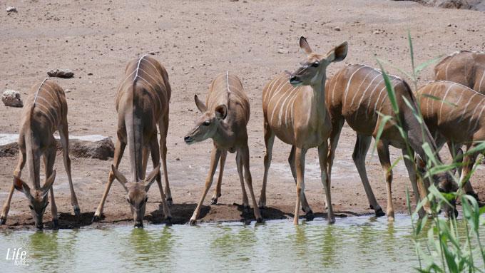 weibliche Kudus am Wasserloch im Etosha Nationalpark Namibia