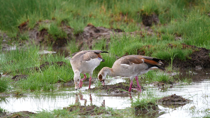 wilde Enten im Etosha Nationalpark