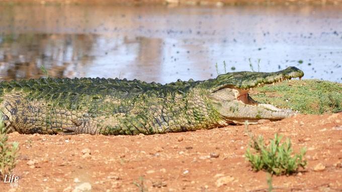 Krokodil im Erindi Game Reserve in Namibia