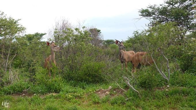 Kudus im Etosha Nationalpark