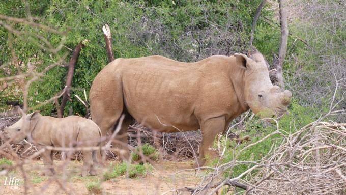 Nashorn mit Baby im Erindi Game Reserve in Namibia