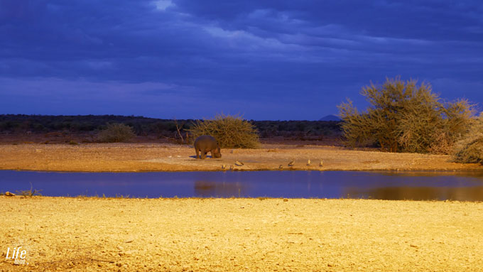 Nilpferd am Wasserloch im Erindi Game Reserve in Namibia