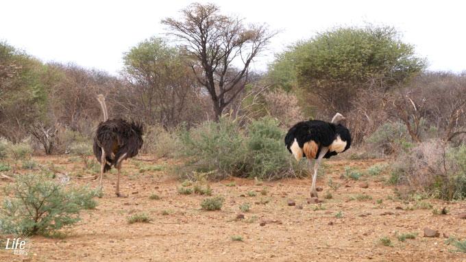Strauße im Erindi Game Reserve Namibia