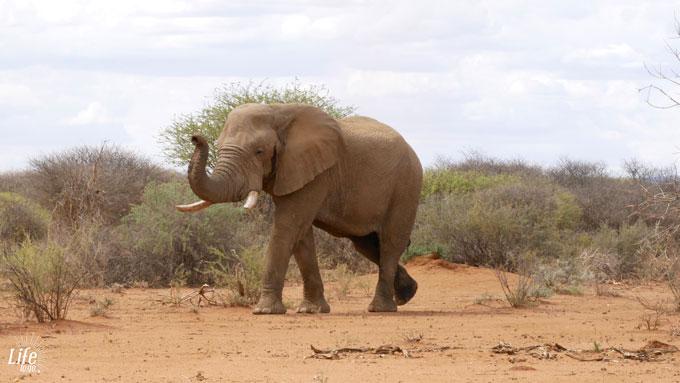 großer Elefant Erindi Game Reserve