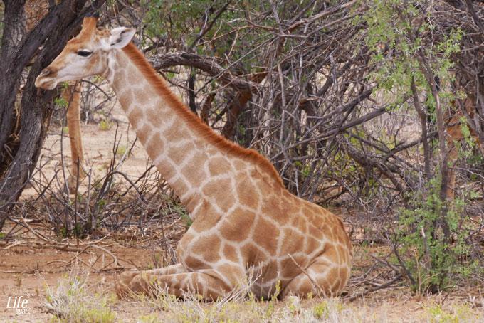 sitzende Giraffe im Erindi Game Reserve Namibia