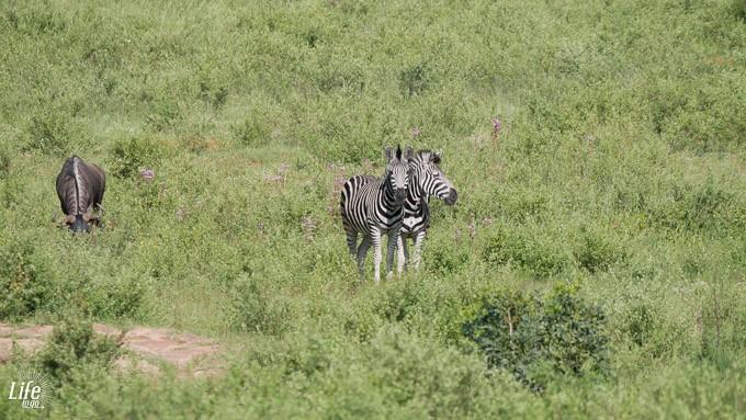 Aussicht auf Zebras Ekuthuleni Lodge
