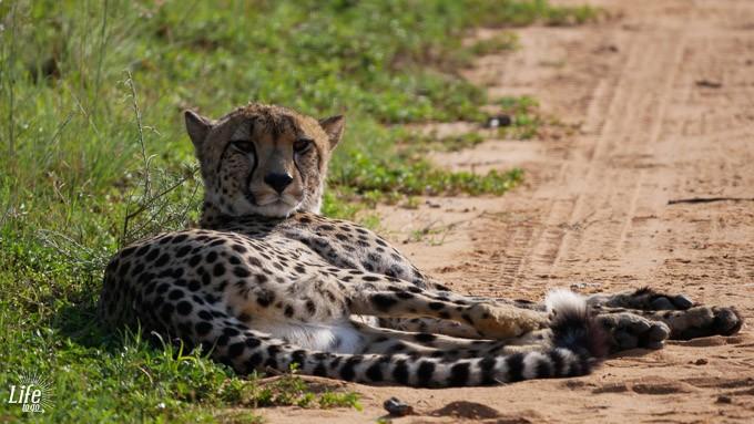 Gepard am Morgen auf Safari im Welgevonden Game Reserve
