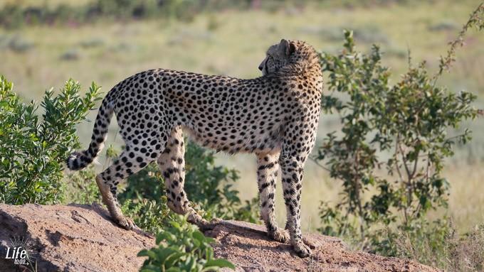 Gepard auf Safari im Welgevonden Game Reserve